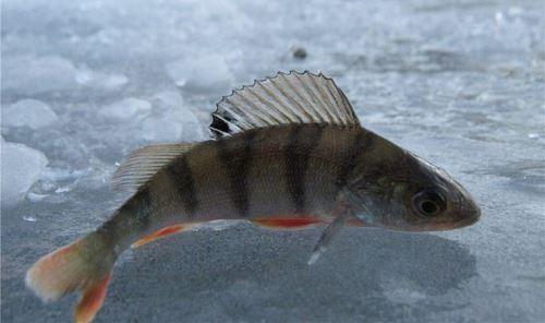 Техника и тактика ловли окуня зимой