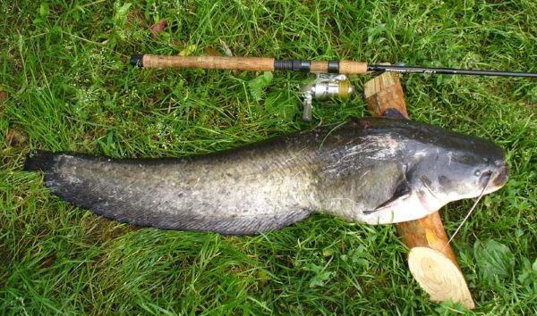 Рыбалка на сома донкой